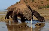 Národní park KOMODO, Safari Maestro Aldo ( celoročně - 7D 6N )
