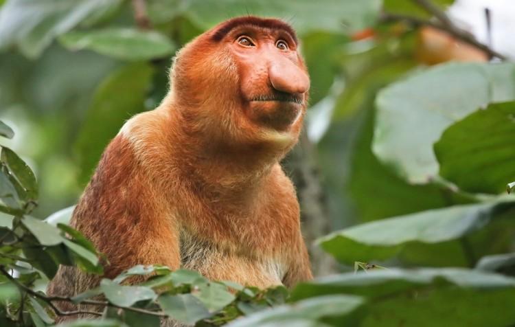 KALIMANTAN - Orangutani v přírodě a na lodi po řece