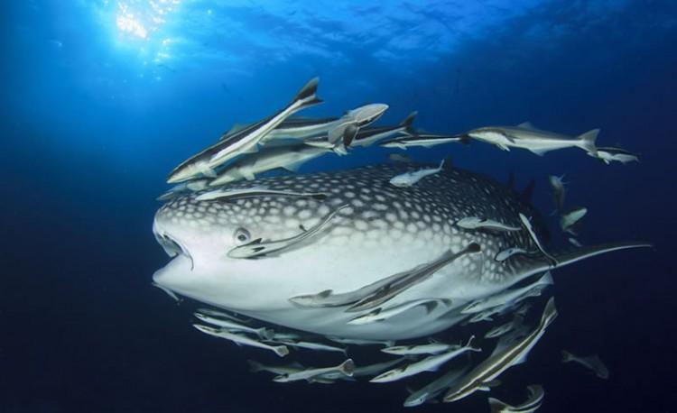 15179913925-151-lr-whale-shark-accompanied-by-remora-fish-maldivescopyrigth-shutterstock-273630704-01311121111.jpg
